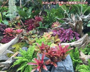 観葉植物/ネオレゲリア:フォゲットミーノット8号ポット