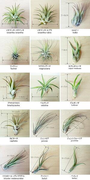 観葉植物/エアプランツ5種のギフトボックス