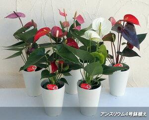 観葉植物/アンスリウム:シエラ(赤)4号プラ鉢入り