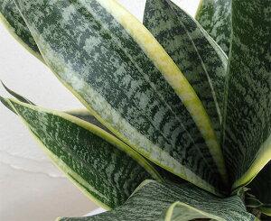 観葉植物/サンセベリア:ローレンチーコンパクタ4号鉢植え