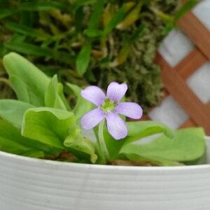 観葉植物/食虫植物:ムシトリスミレ・ギガンティア3号鉢植え
