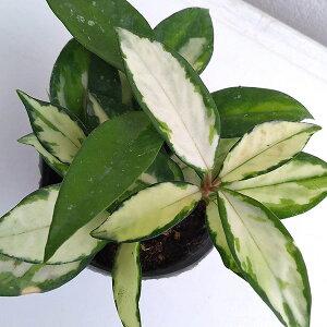 観葉植物/ホヤ:カルノーサバリエガータ3号ポット