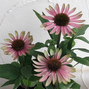 草花の苗/エキナセア:グリーンツイスター3.5号ポット