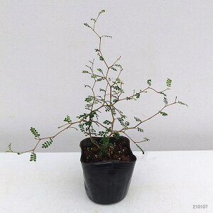 観葉植物/ソフォラ:リトルベイビー3号ポット