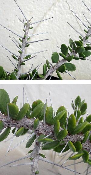 【ラッキーシール対応】観葉植物/アローディアコモサ3号鉢植え