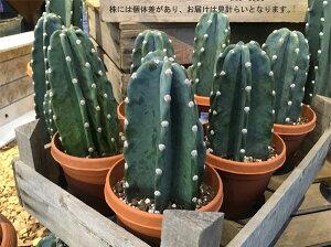 観葉植物/柱サボテン:4号鉢植え3鉢セット