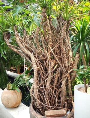 観葉植物/フィロデンドロン・オージー10号鉢植え