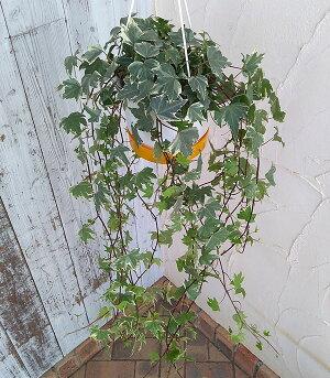 観葉植物/ヘデラ(アイビー):ホワイトリップル5号吊鉢仕立て長さ約80cm