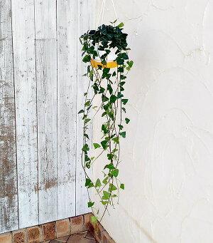 観葉植物/ヘデラ(アイビー):サーク5号吊鉢仕立て長さ約80cm