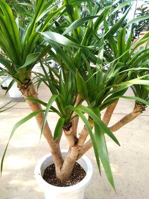 観葉植物/ドラセナカンボジアナ(1)