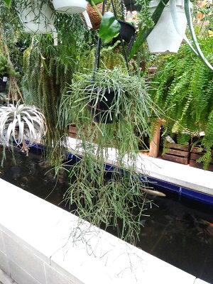 観葉植物/ホヤレツーサ5号鉢植え