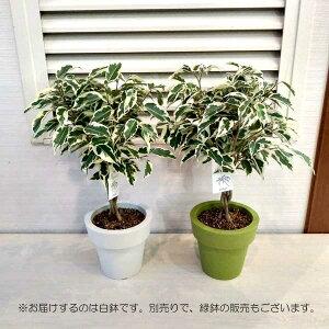 観葉植物/[19年5月中旬予約]フィカス・ベンジャミンスターライトスタンド仕立て5号鉢植え(白鉢)