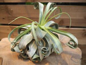 観葉植物/チランジア:スプレプトフィラXL(1)