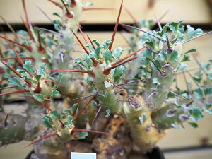 観葉植物/サルコカウロン:クラシカウレ4号鉢植え(1)