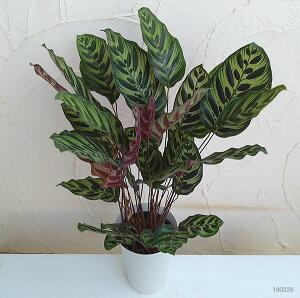 観葉植物/カラテア:マコヤナ6号鉢植え
