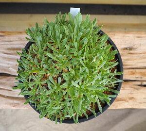 観葉植物/オトンナ:レトロルサ6号鉢植え(2)