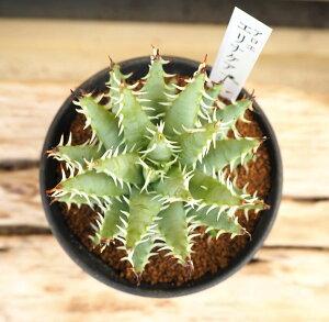 観葉植物/アロエ:エリナケア3号鉢植え
