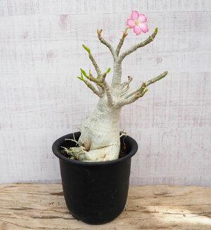 観葉植物/[送料無料]アデニウム:オベスム5.5号鉢植え