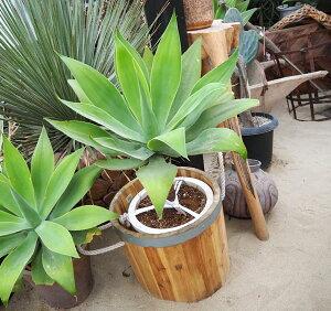 観葉植物/[送料無料]アガベ:アテナータ黄斑直径32cm鉢植え
