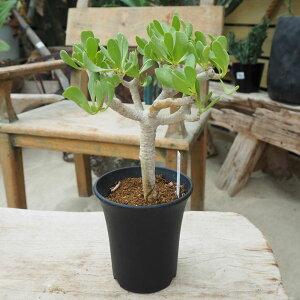 観葉植物/[送料無料]オトンナ:フルカタ直径10.5cm鉢植え