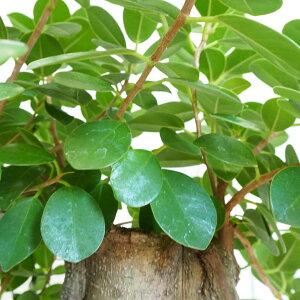 観葉植物/[送料無料]パンダガジュマル10号鉢植え(2)