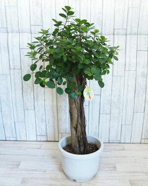 観葉植物/[送料無料]パンダガジュマル10号鉢植え(5)