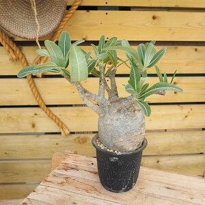 観葉植物/[送料無料]パキポディウム:グラキリス4号鉢植え
