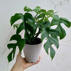 観葉植物/ヒメモンステラ4号鉢