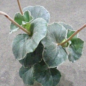 観葉植物/ベゴニア:ベノーサ(ウェノーサ)5号鉢植え