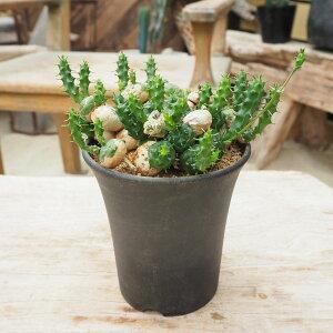 観葉植物/[送料無料]ユーフォルビア:グロボーサ3.5号鉢植え(2)