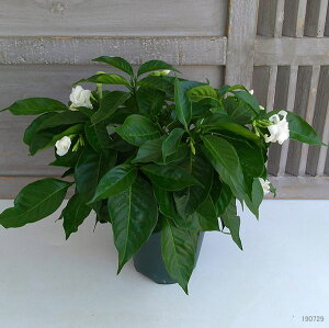 サンユウカ(三友花)かざぐるま5号鉢植え