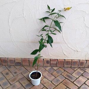 花木庭木の苗/ブッドレア:イエローマジック(黄)5号ポット