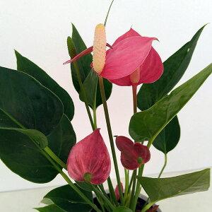 観葉植物/ミニアンスリウム:ミリオンフラワーレッド4号鉢植え