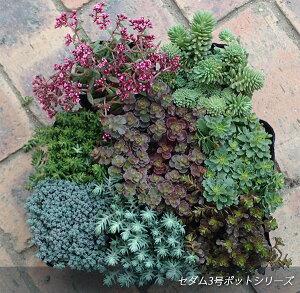 観葉植物/セダム:グラウコフィラム3号ポット