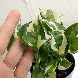 観葉植物/ポトス:エンジョイ3号ポット苗