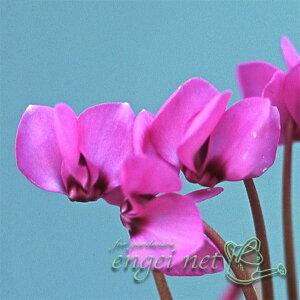 山野草の苗/原種系シクラメン:コウム赤花(緑葉系)2.5号ポット