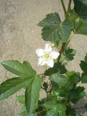 果樹の苗/日本の木いちご(キイチゴ):カジイチゴ4号ポット