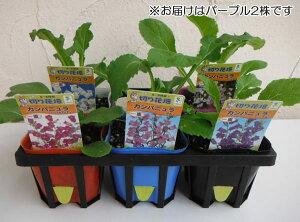 草花の苗/カンパニュラ・一重咲きパープル3号ポット2株セット