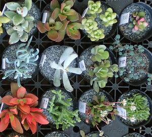 観葉植物/多肉植物ミックス2号ポット5株セット