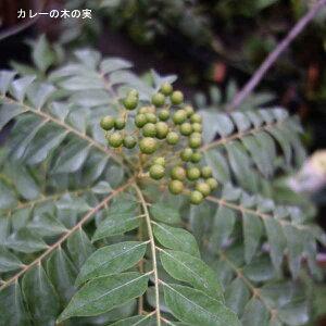 野菜の苗/カレーの木3号ポット