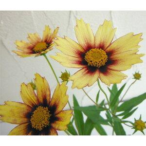 草花の苗/コレオプシス:ビッグバンレッドシフト3.5号ポット