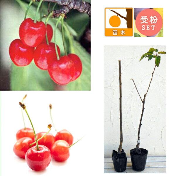 果樹の苗/サクランボ2種受粉樹セット:さとうにしき(佐藤錦)・ナポレオン接木苗4〜5号ポット