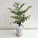 観葉植物/梛(ナギ)の木4号陶器鉢植え