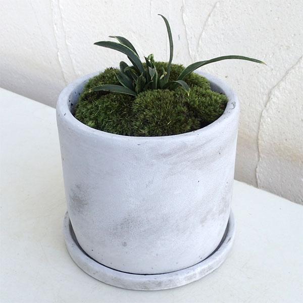 観葉植物/[縁起物・新居祝いやギフトに!]万年青 (おもと):セメント鉢植え(皿付)/マルモSS