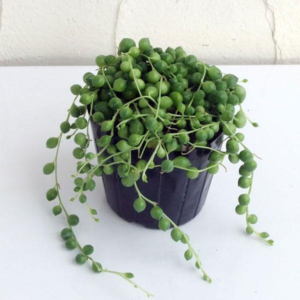 【ラッキーシール対応】観葉植物/グリーンネックレス3号ポット苗