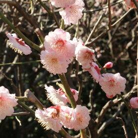果樹の苗/ウメ(梅):はなかみ(花香実)4〜5号ポット