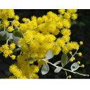 花木 庭木の苗/アカシア:パールアカシア3〜3.5号ポット