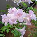 草花の苗/ノウゼンカズラ:ピンク(ボトラネア)3.5号ポット