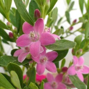 サザンクロス:ピンク4号鉢植え