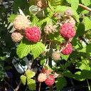 果樹の苗/トゲなしラズベリー:グレンアンプル3号ポット